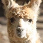 Alpaca Adoptions